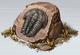 Medium Fossil (Glacier)