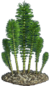Horsetailsthumb