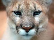 220px-Cougar closeup (1)