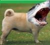 Sharkpug