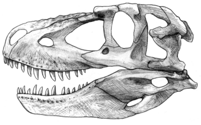 Daspletosaurus skull by anto009-d5537uk