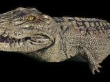 Krokodyl Albinos