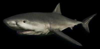 Rekin biały