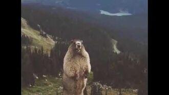 Marmot scream