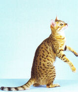 Bronze-egyptian-mau-cat-02