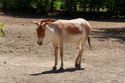 Rostov-on-Don Zoo Persian onager IMG 5268 1725