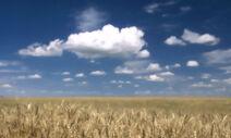 Hok wheat