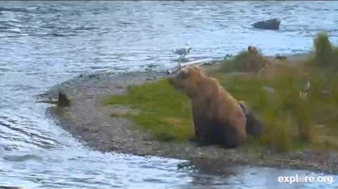 Part 1 Momma Bear with tiny Cub July 16 2015 video by MsDebbiB