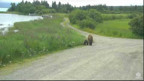 """9 58 am July 1, 2016 284 """"Electra"""" with 2 spring cubs part 2 Katmai National Park and Explore by Mickey Williams"""