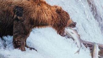 Brown Bears of Katmai Alaska Day 8 Brooks Falls to Anchorage, video by Shawn James-0