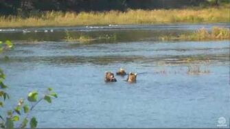 2 04 pm 090116 708 and 2 yearlings Katmai National Park and Explore by Mickey Williams