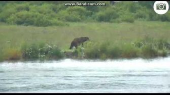 Alert mama bear catches fish for cubs! July 1, 2016 by Ratna 708 with 2 yearlings