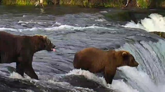 The Salmon Quest - 2018 Bear Cam Trailer (503 Cubadult, 719, & 804~2017 Little Lip Fisher) video by GreenRiver