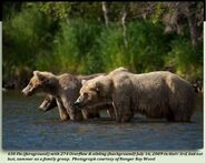 438 FLO PIC 2009.07.16 438 FOREGROUND w TWO 2.5 YO CUBS 274 is 1 of THEM in 2012 BoBr iBOOK 01 COURTESY OF RANGER ROY WOOD