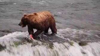 Bear 775, Lefty, fishing on the lip of Brooks Falls, Katmai National Park, AK
