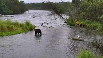 Brooks Falls Brown Bears Cam (812, 719 and 503) 08-23-2017 16 00 15 - 17 00 00-0