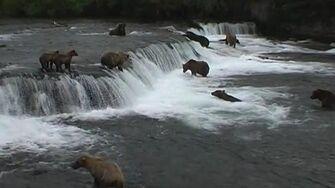 KATMAI en Alaska le site mondial des grizzlis pêchant le saumon by Safari-Nordique R et M-C BUGAULT
