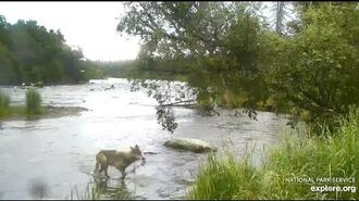 Wolf nabs a salmon at Brooks Falls by Cloud