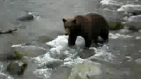 Brooks Falls Alaska Bear September 2008 video by tylerbp6