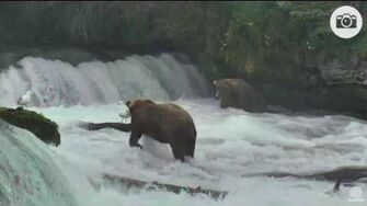 3 34pm 080916 Otis 480 and mystery bear not 274 Katmai National Park and Explore by Mickey Williams