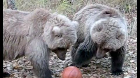 Bear family plays basketball 608 and her yearlings 2007 KNP&P