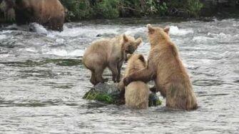 Brown Bears at Brooks Falls 16-18 July 2017, video by Graham Bloye