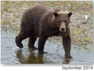 NOSTRIL BEAR 813 PIC 2014.09.xx NPS PHOTO 2015 BoBr PG 46 04