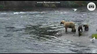 128 Grazer's cubs nip at each other 7 30 16, video by LuvBears