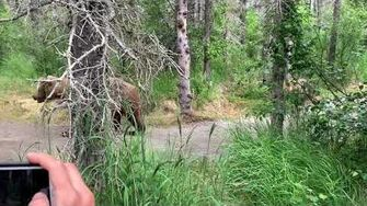 This Alaska Grizzly cub gets a little too curious, video by AnchorTown