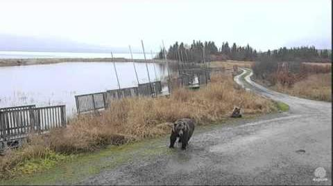 1 58 pm mom 451 & cub move 10.24015 video by Mickey Williams