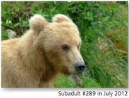 289 PIC 2012.07.xx SUBADULT 289 NPS PHOTO 2015 BoBr PG 36 01