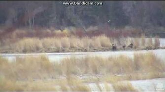 Bear 39 (not 171) with 3 coys Part 3 Brooks falls Katmai 2016 10 21 21 51 33 141, video by Erum Chad