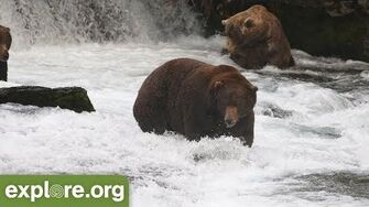 Meet Bear 747 - Bears of Brooks Falls by Mike Fitz, Resident Naturalist with Explore