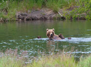 402 PIC 2015.07.xx w 4 SPRING CUBS NPS PHOTO R WOOD KNP&P BLOG 2015.07.09