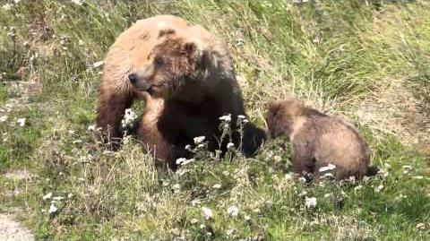 Brown Bears Mother & Cub 273 & spring cub August 6, 2015 video by jmmcentyre