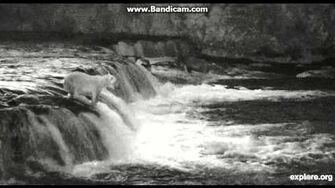 2015 07 01 Brooks falls KNPP Alaska 128 Grazer fishing the lip ~ infrared live cam feature activated