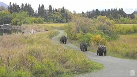 410, 409 Beadnose, and 32 Chunk walking on Spit Road Katmai National Park 9 24 2015 by Mickey Williams