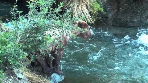 Bärenmutter mit drei Bärenjungen beim Fischen von Lachsen July 26 - 27, 2013 video by Alaska