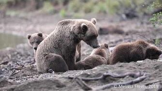 A Quiet Morning with 273 and Cubs, video by Melissa Freels