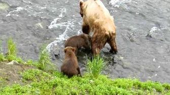 Brooks Falls Bear cubs and mom, video by oliviayhu