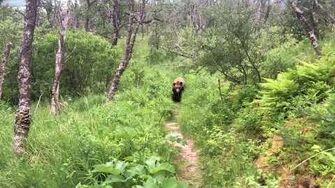 Close Grizzly Bear Encounter - Katmai National Park, Alaska June 14, 2019 by Paxton Graham