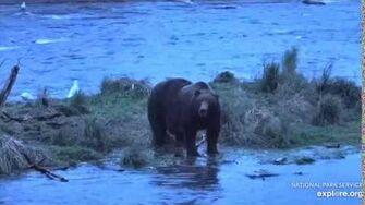 Unknown hump bear returns to Brooks Falls 9 23 2019 by Lani H