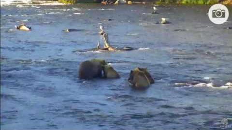 July 23, 2017 Explore org Katmai Bears Riffles Cam Mom 153 and 3 Yearlings video by Susan Tunstall