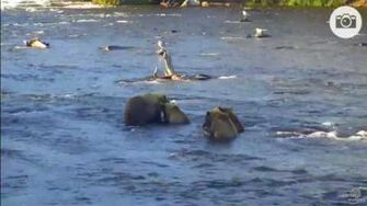 July 23, 2017 Explore org Katmai Bears Riffles Cam Mom 39 and 3 Yearlings video by Susan Tunstall. Note This was initially thought to be 171, then 153, but turns out it is 39