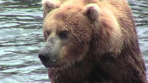 Katmai bear close up - able to see into his eyes