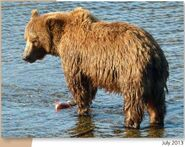 NOSTRIL BEAR 813 PIC 2013.07.xx NPS PHOTO 2015 BoBr PG 46 02