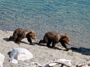 171's 2 spring cubs June 27, 2019 NPS photo by Katmai Conservancy Ranger Naomi Boak