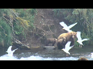 505 PIC 2018.08.06 w 2 SPRING CUBS GOLDILOCKS POSTED 2019.06.05 16.34 01
