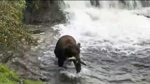 Bear 289 catching a fish 2016 09 17 19 59 37 video by Anna-Marie (aka Cam Op Scout)