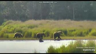 Bear sow 505 with 2 yearling cubs LR Brooks falls Katmai 2019 07 08 by Erum Chad-0